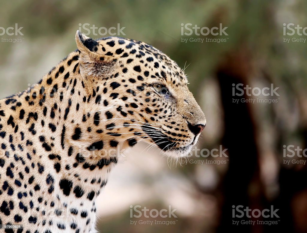 close up of leopard royalty-free stock photo
