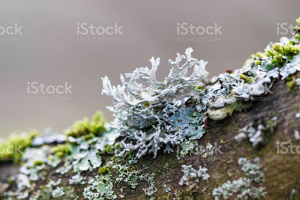 Close up of lichen stock photo
