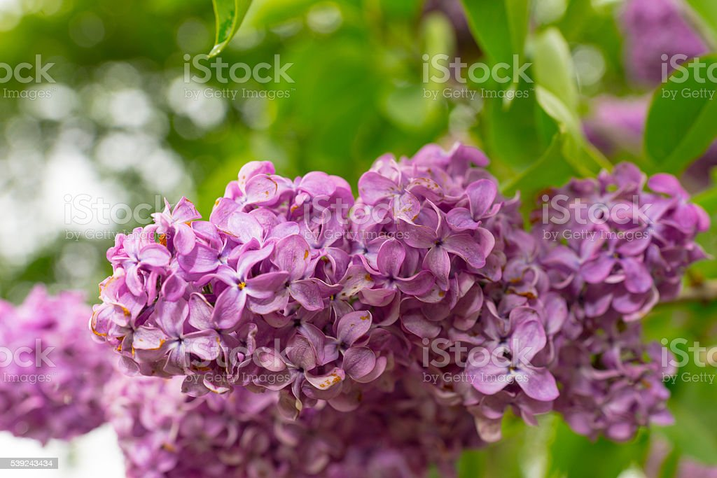 Close up of lilac flowers royalty-free stock photo