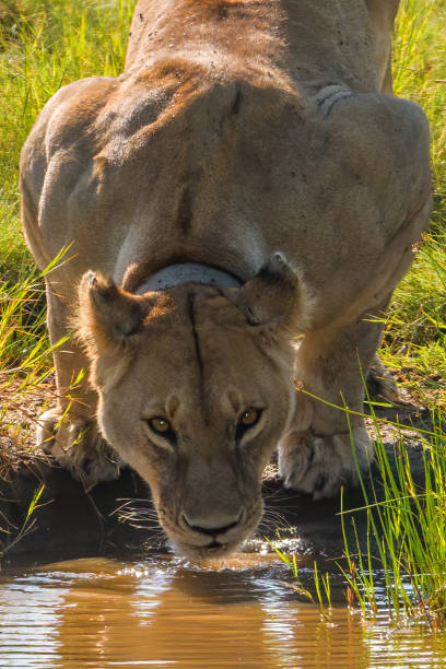 Close up of lion drinking at Serengeti watering hole stock photo