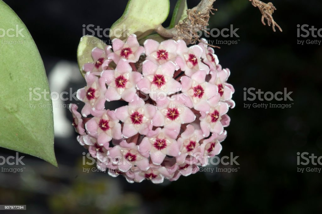 Close up of little blossom pink hoya shaped like ball in nature. stock photo
