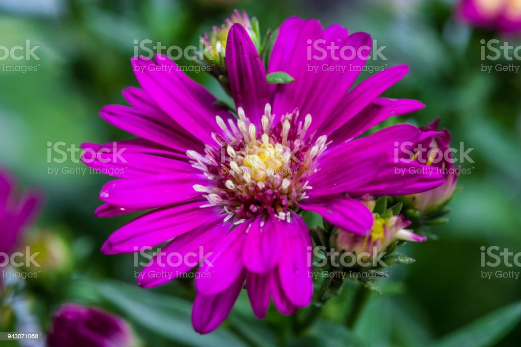 Close up of little flowers, purple margaret flower in the garden. stock photo