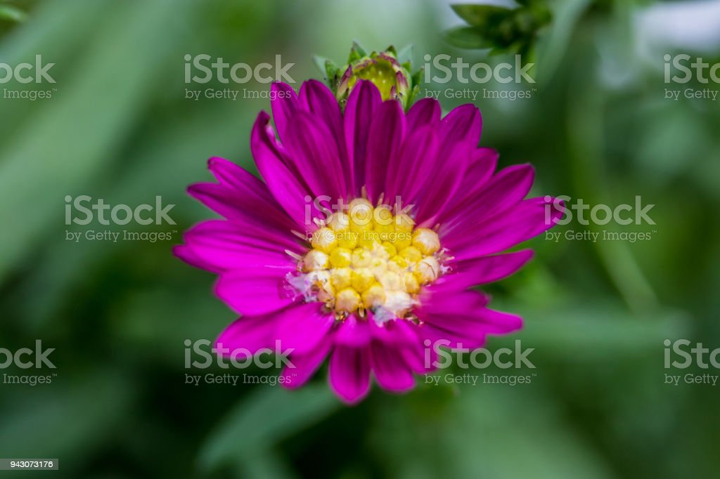Close up of little flowers, purple margaret flower in the garden with water drop after the rain, stock photo