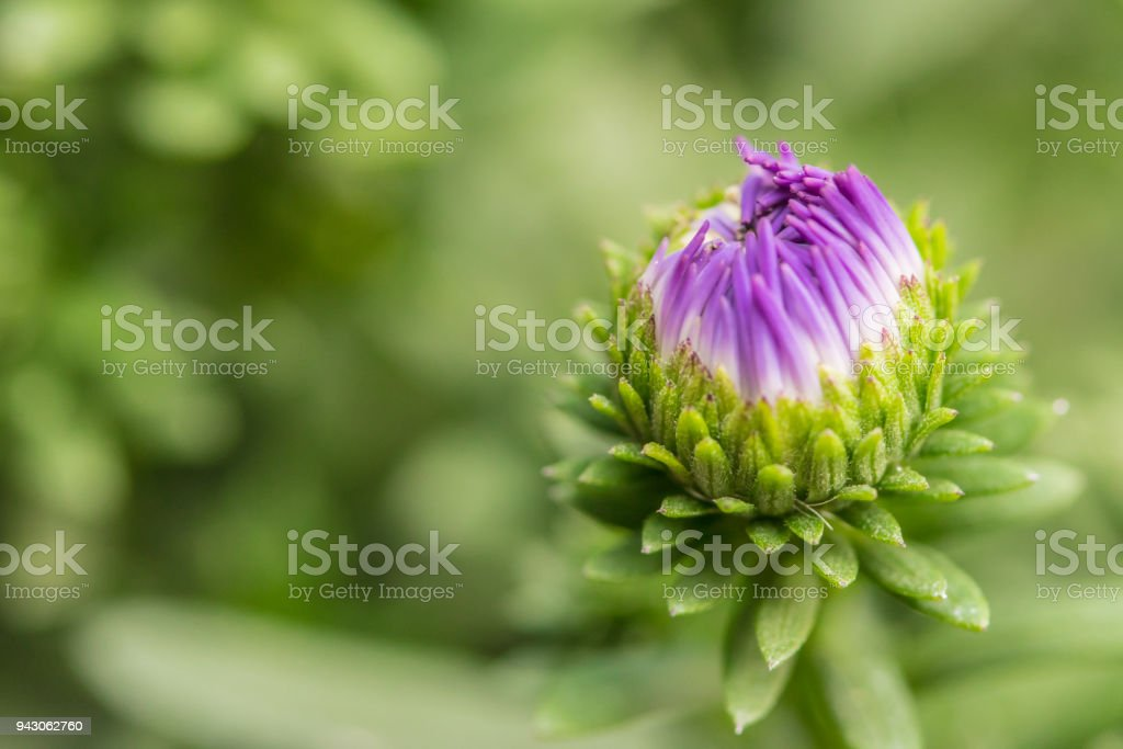 Close up of little purple margaret, bud flowers in the garden stock photo