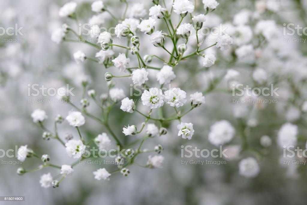 Close Up Of Little White Gypsophila Flowers On Blur Background Stock ...