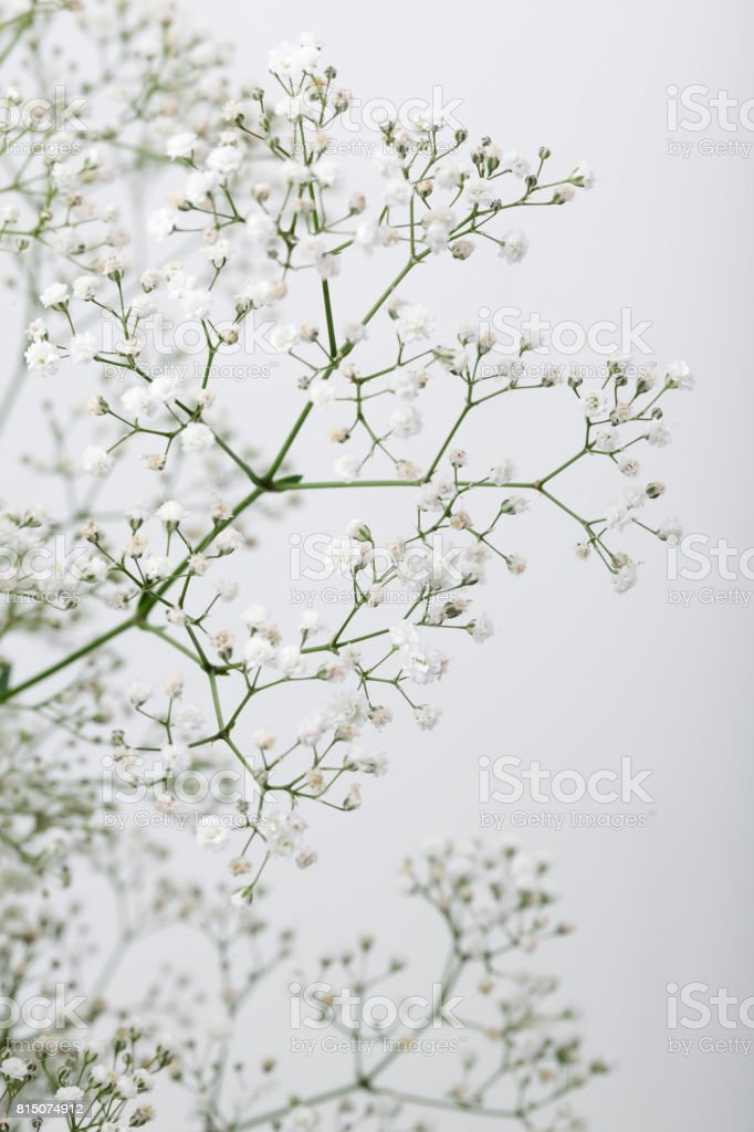 Close up of little white gypsophila flowers on blur background stock close up of little white gypsophilababys breath flowers on blur background royalty mightylinksfo