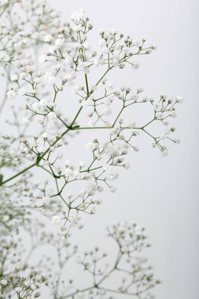 Close up of little white gypsophila flowers on blur background picture id815074912?b=1&k=6&m=815074912&s=612x612&w=0&h=yddqwm0wzooub1logu hzu6jhylj7xbhrl7t poi0u0=