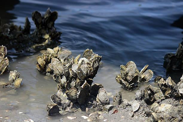 close up of live oyster bed - estuário imagens e fotografias de stock