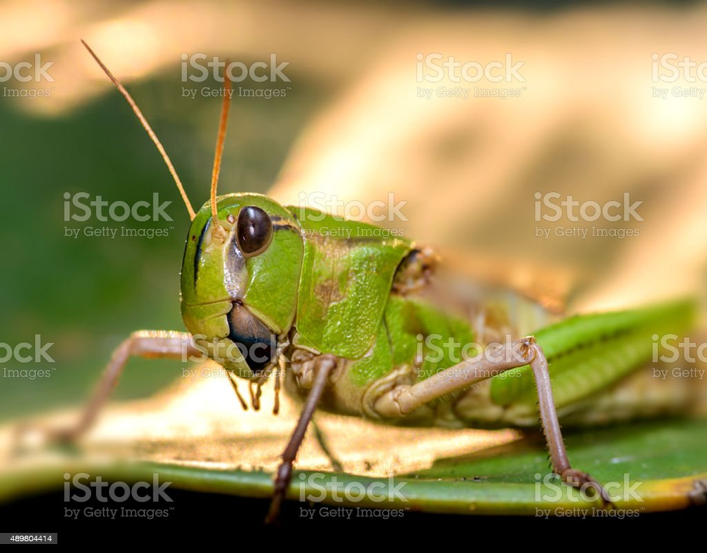 Close up of locust Asia stock photo