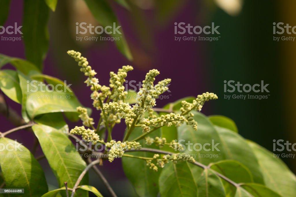 Close up of longan flower stock photo