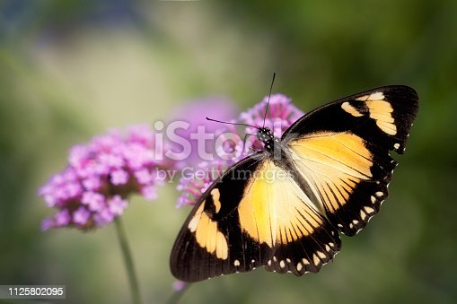 Longwing butterfly resting on a purple flower