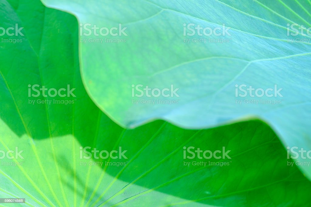 Close up of lotus Leaf royalty-free stock photo