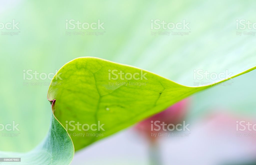 close up of lotus leaf texture royalty-free stock photo