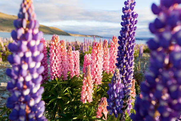 Close up of Lupins Flowers stock photo