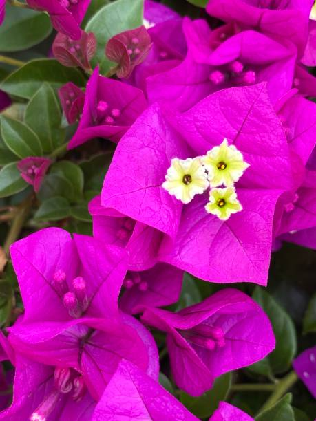 Close up of magenta Bougainvillea flowers stock photo
