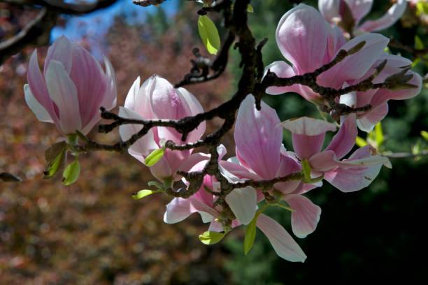 close up of magnolia flowers stock photo