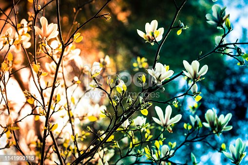 Close up color image depicting the beautiful fresh springtime bloom of a magnolia tree outdoors at sunset. Focus is sharp on the flowers while the background, and the sunset, are beautifully defocused into bokeh balls. Room for copy space.