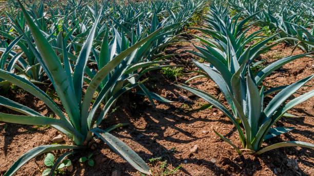 Close up of maguey plants stock photo