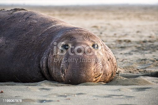 Close up of male elephant seal, Drakes Beach, Point Reyes National Seashore, California