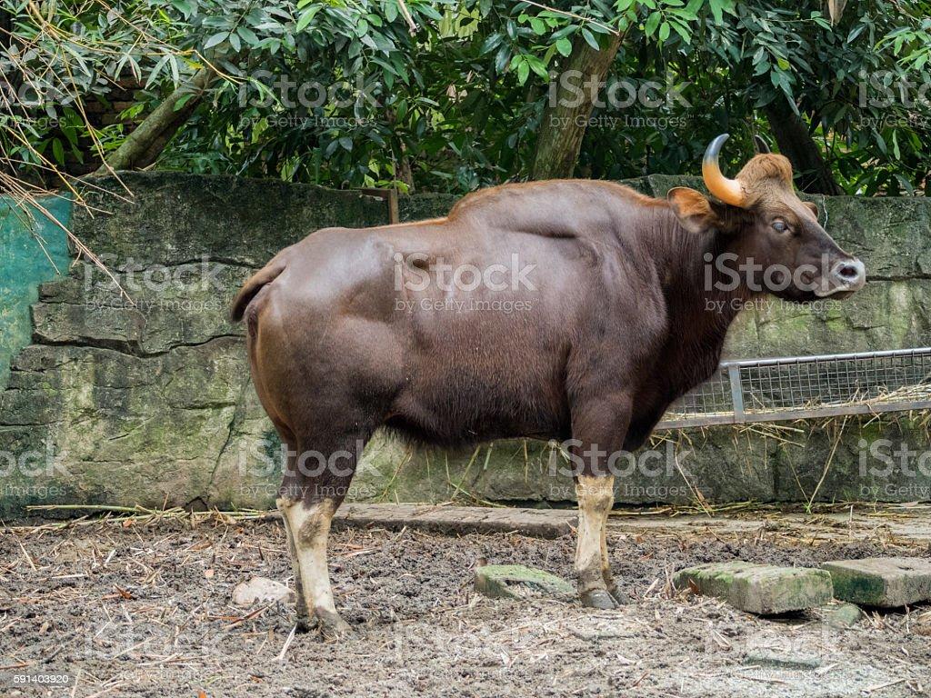 Close up of Male Gaur stock photo