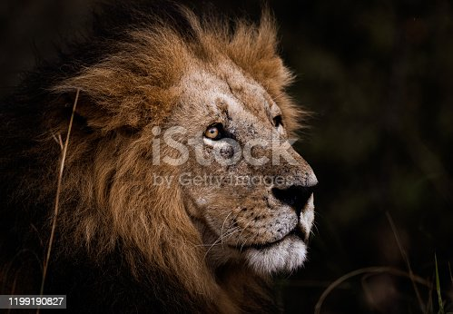 Close up of a male lion in Masai Mara national park.