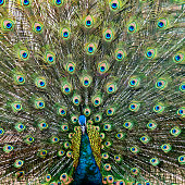 Close up of male peacock with feathers out.