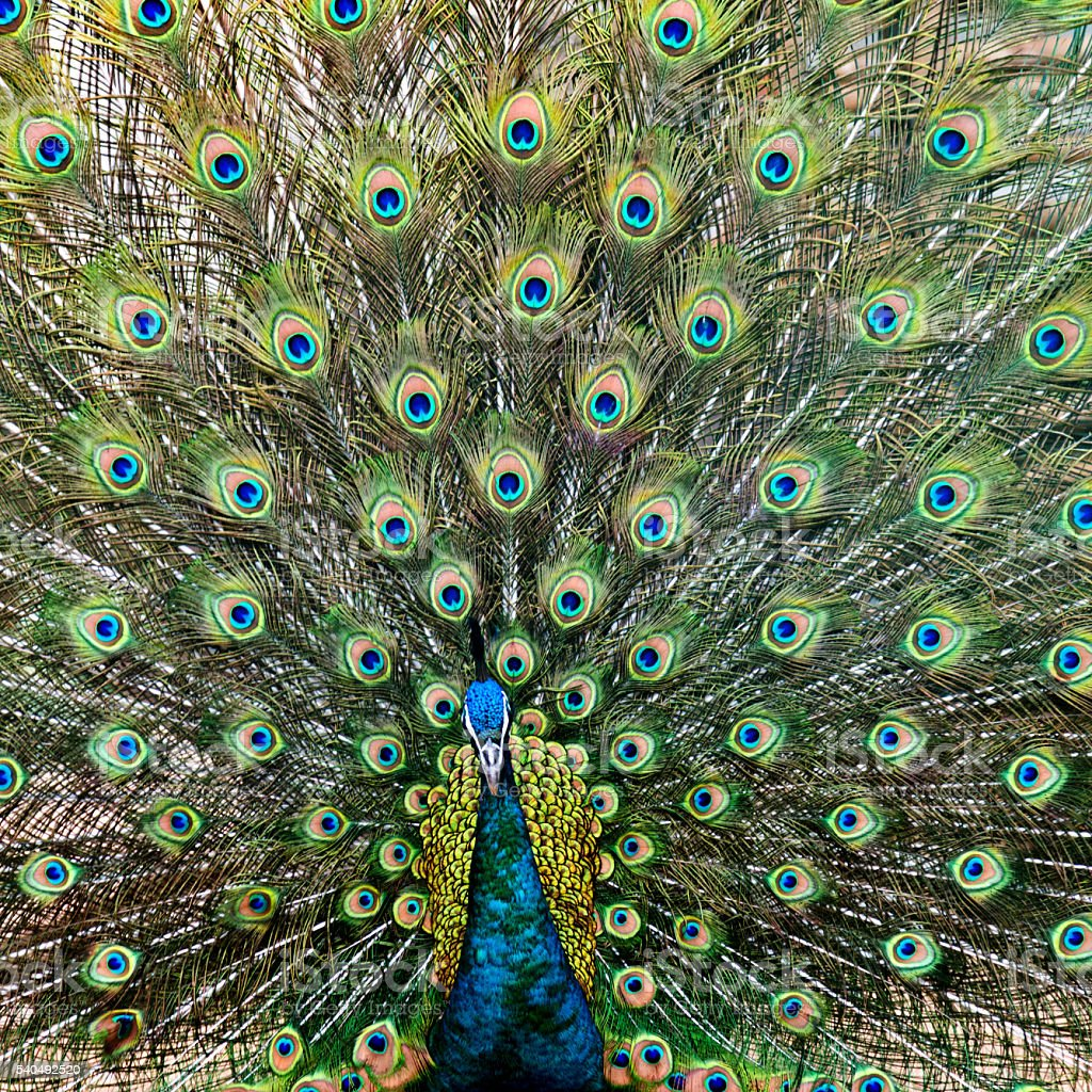Close up of male peacock with feathers out stock photo