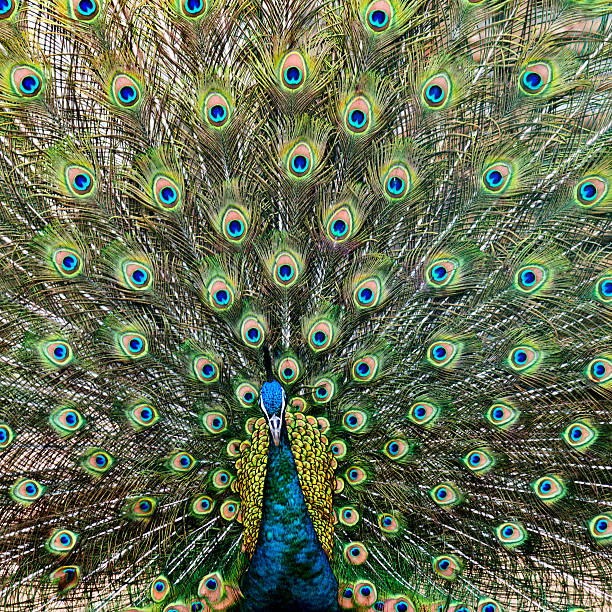 close up of male peacock with feathers out - animal markings stock photos and pictures