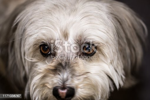 Close up of Maltese Dog head face with brown eyes