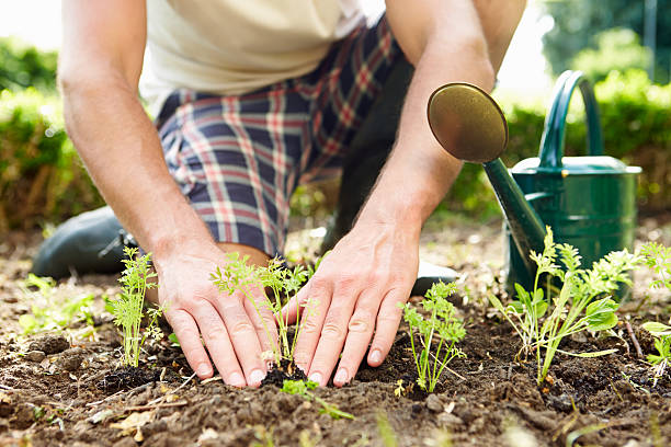 Close Up Of Man Planting Seedlings In Ground On Allotment stock photo