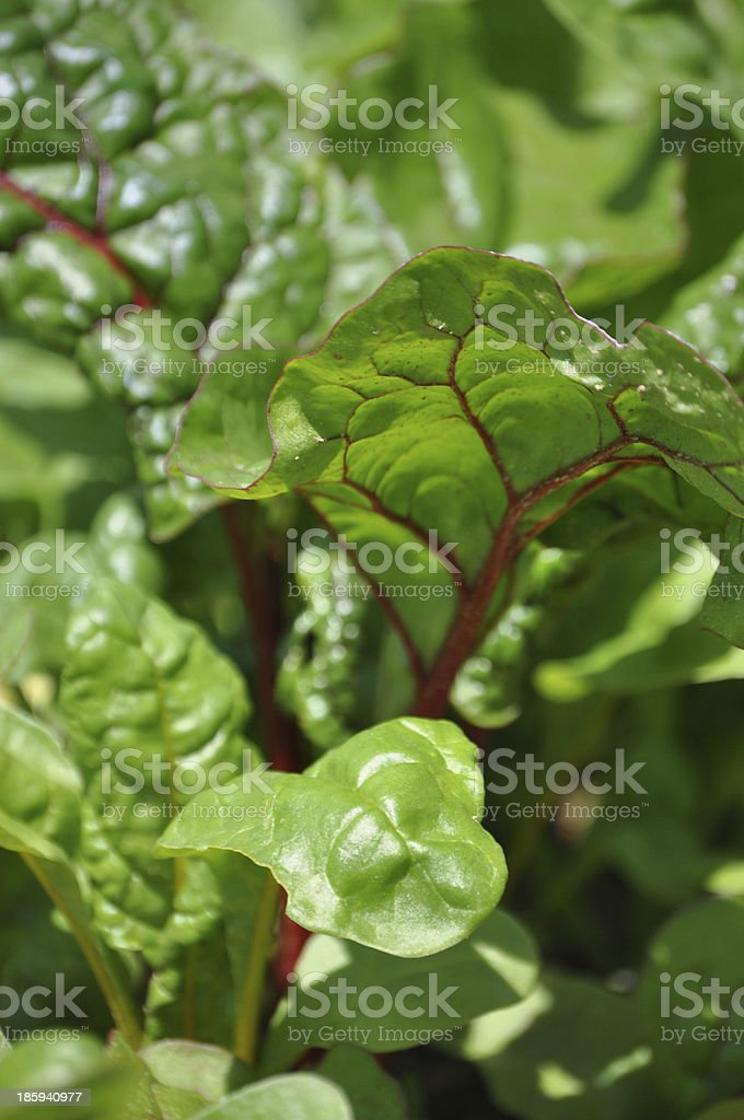 Close up of mangold stock photo