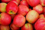 Cripps Pink apples just in from harvest at an apple orchard