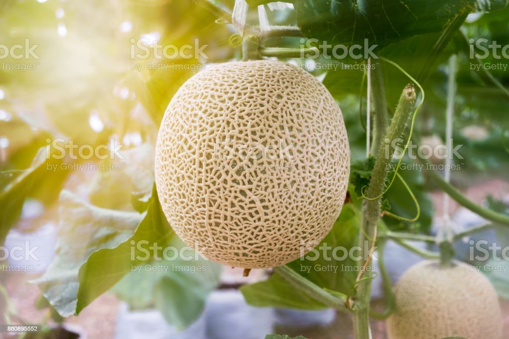 Close up of melon fruit in the organic farm stock photo