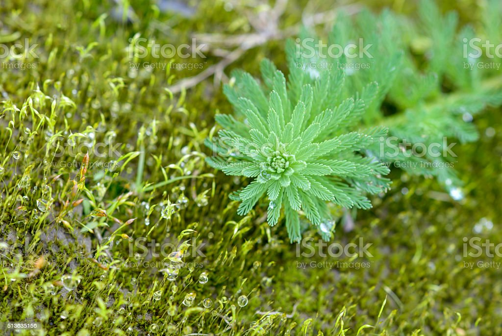 Close up of Milfoil( Myriophyllum  aquaticum) stock photo
