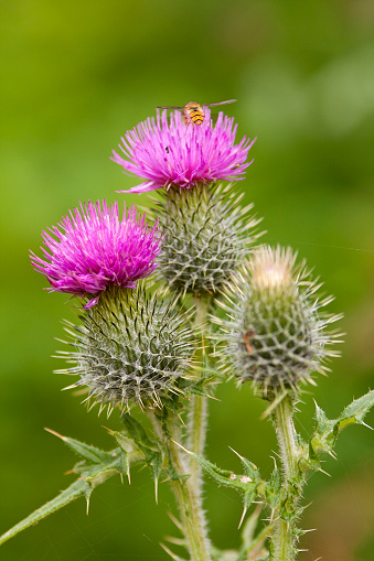 Three thistles in bloom with hoverfly. The Thistle also the national symbol of Scotland.