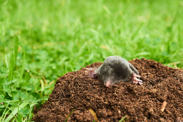 Close up of Mole in garden. Talpa europaea Close up of Mole in garden. Talpa europaea, crawling out of brown molehill, green grass lawn background. Selective focus mole animal stock pictures, royalty-free photos & images