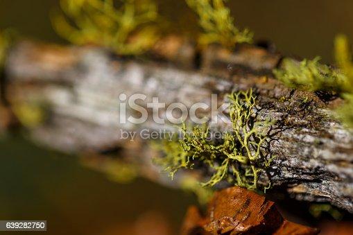 istock Close up of moss on tree 639282750