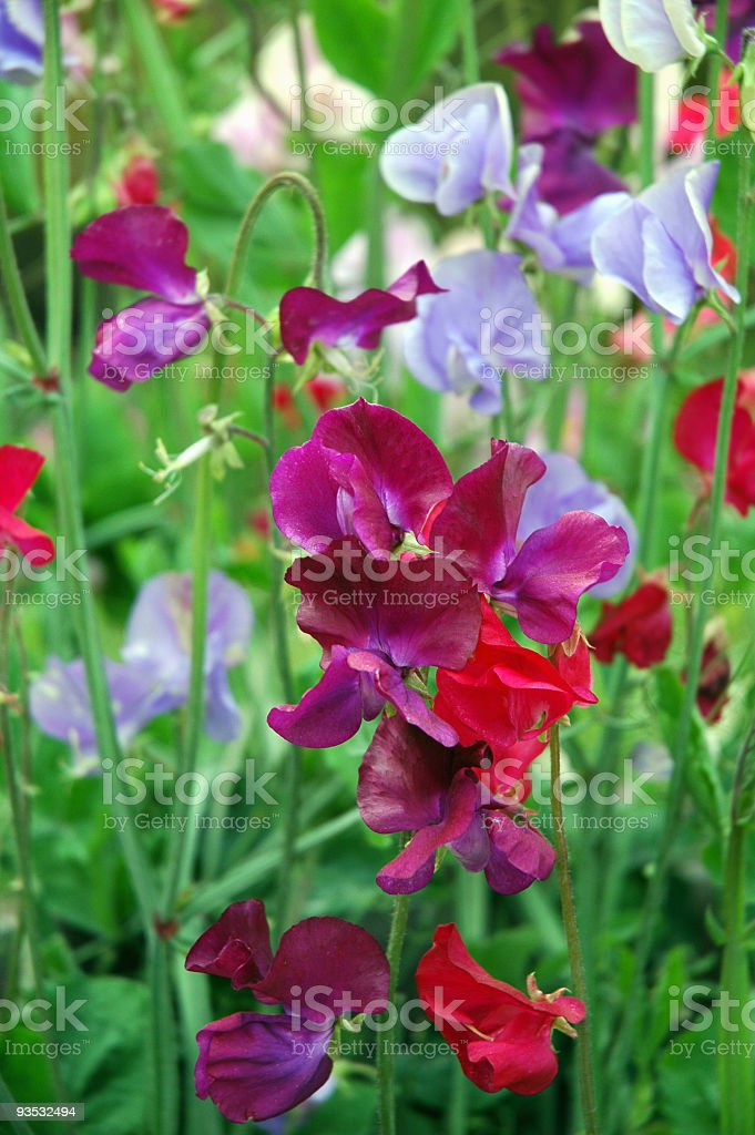Close- up of multicolored blooming sweet peas stock photo