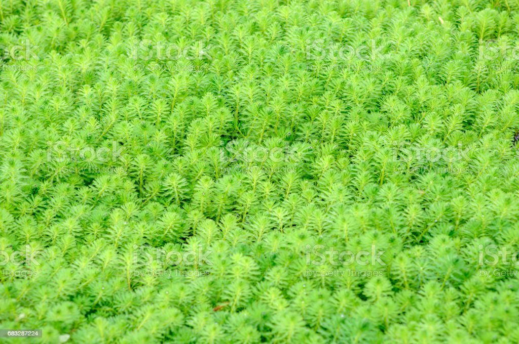 close up of  Myriophyllum aquaticum stock photo