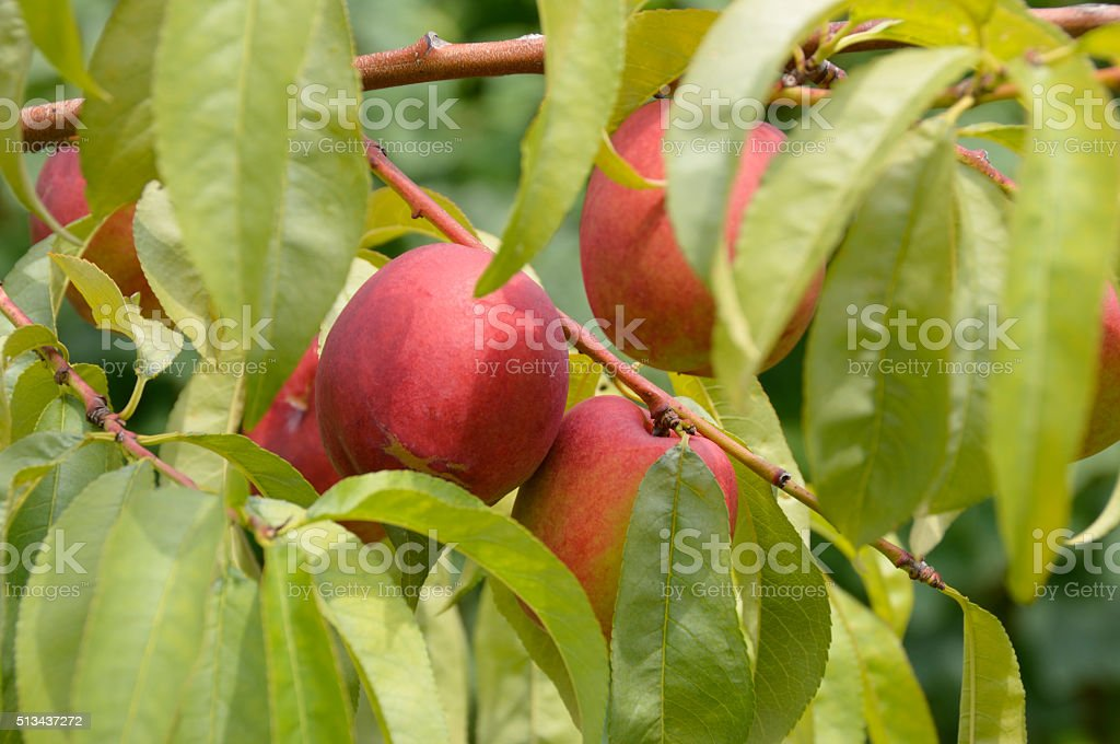 Close up of Nectarine fruits growing on tree branch stock photo
