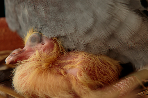 close up of new born homing pigeon in home nest