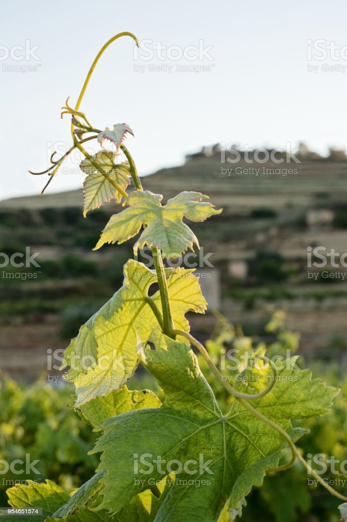 Close up of new young stem grape vine stock photo