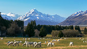 istock close up of newly shorn sheep grazing on a farm with mt cook in the distance 1125837473