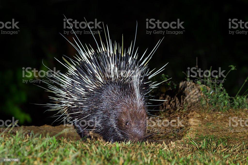 Close up of nocturnal animals Malayan porcupine(Hystrix brachyura) stock photo