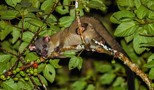 primer plano de los animales pequeños nocturno imperfecta civeta - gato civeta fotografías e imágenes de stock