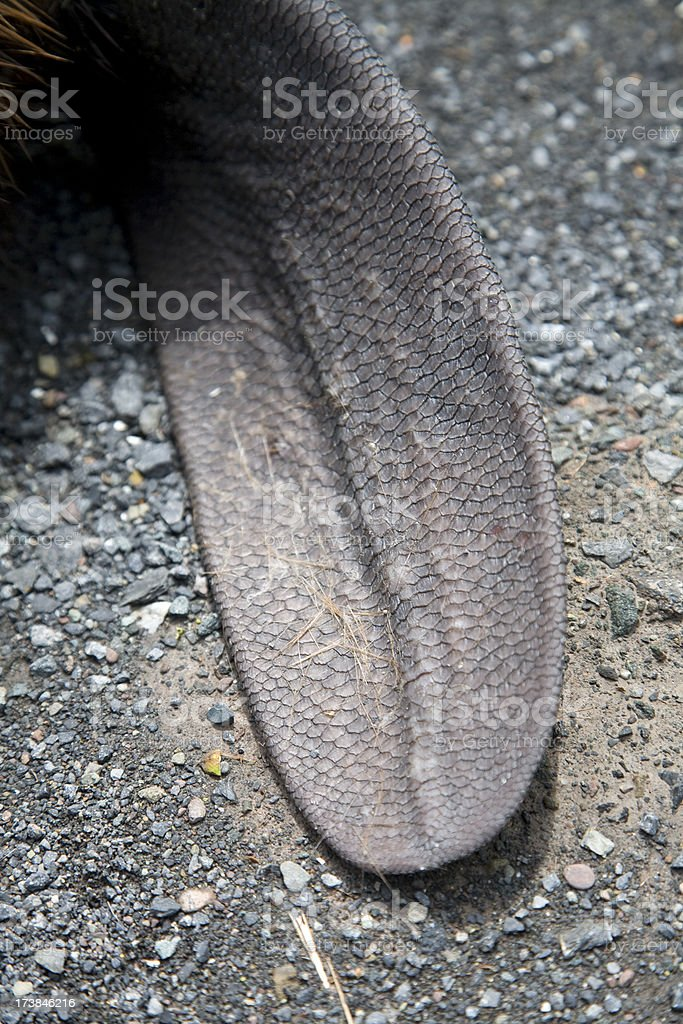 Close up of North American Beaver Tail on Asphalt (Roadkill) stock photo