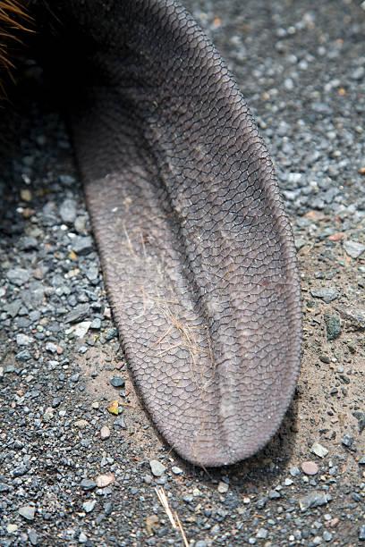 Close up of North American Beaver Tail on Asphalt (Roadkill) stock photo