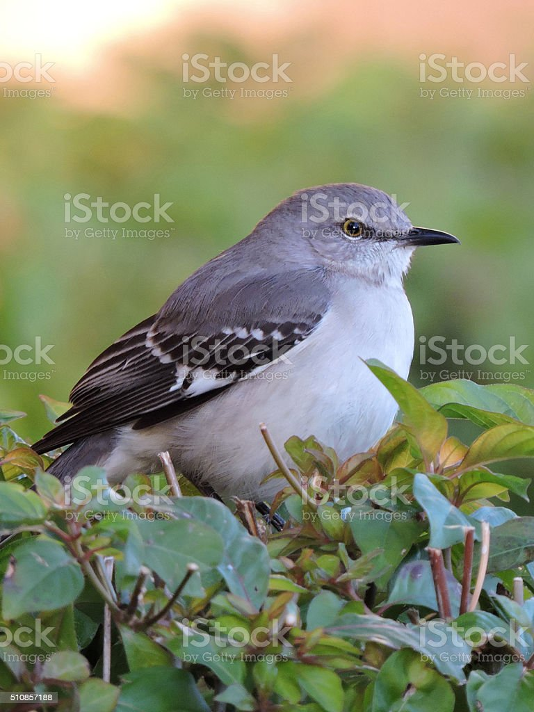 Close Up of Northern Mockingbird on Hedge stock photo