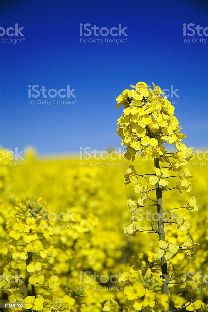 Close up of oilseed rape canola with blue sky stock photo
