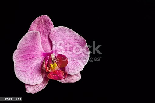 close up of one pink orchid flower on black background